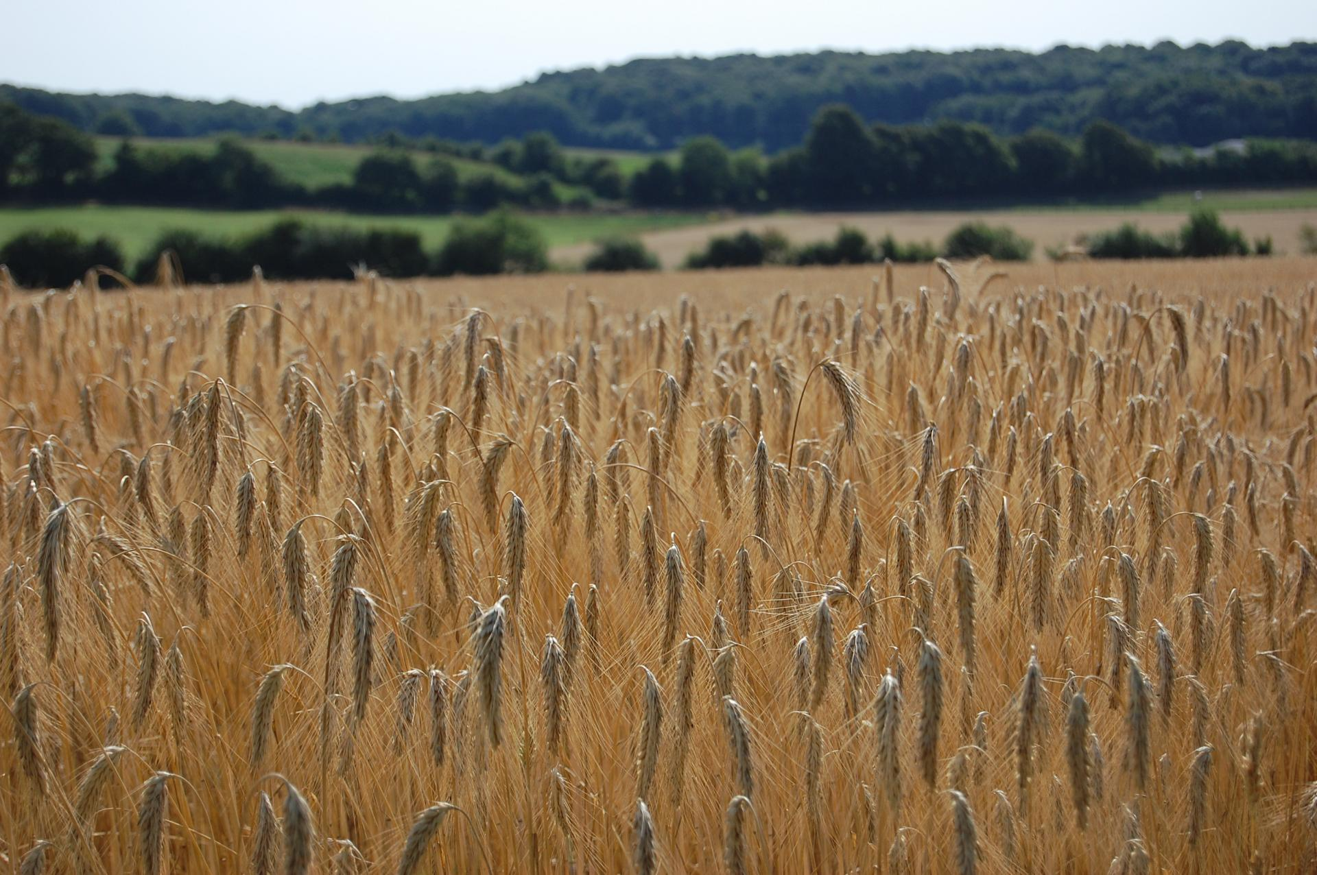 Céréales cultivées sur la ferme
